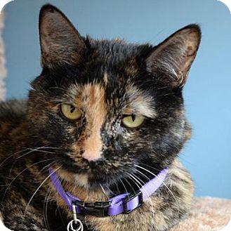 Domestic Shorthair Cat for adoption in Denver, Colorado - Woo