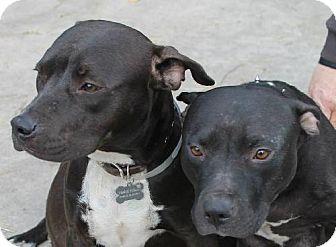 Staffordshire Bull Terrier Dog for adoption in New Smyrna beach, Florida - THELMA