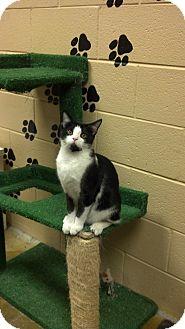 Domestic Shorthair Kitten for adoption in Smithfield, North Carolina - Nikki