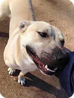 Shepherd (Unknown Type)/Labrador Retriever Mix Dog for adoption in Seattle, Washington - Stallone