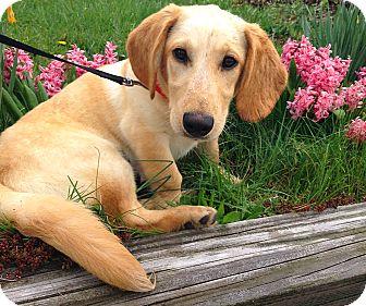 Basset Hound/Labrador Retriever Mix Dog for adoption in New Oxford, Pennsylvania - Quinn