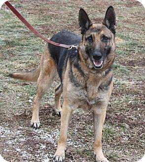 German Shepherd Dog Dog for adoption in Ripley, West Virginia - Josie