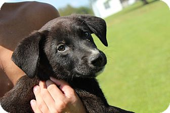 Labrador Retriever/Border Collie Mix Puppy for adoption in Harmony, Glocester, Rhode Island - Ford
