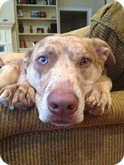 Catahoula Leopard Dog Dog for adoption in Alpharetta, Georgia - Bailey- Courtesy Post