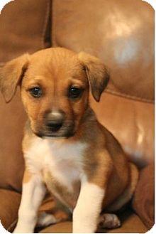 Boxer/Border Collie Mix Puppy for adoption in Las Vegas, Nevada - Ryan