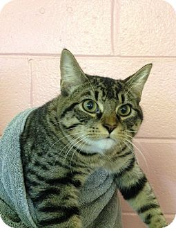 Domestic Shorthair Kitten for adoption in Colonial Heights, Virginia - Malcolm
