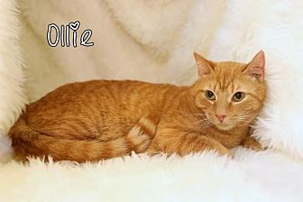 Domestic Shorthair Cat for adoption in Knoxville, Tennessee - Ollie Male
