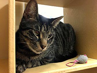 Domestic Shorthair Cat for adoption in Houston, Texas - Sampson