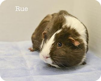 Guinea Pig for adoption in West Des Moines, Iowa - Rue
