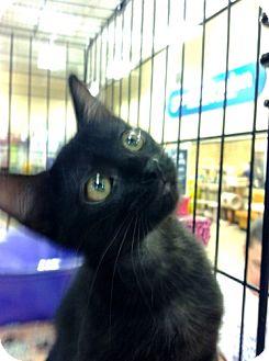 Domestic Shorthair Cat for adoption in Fenton, Missouri - Boris