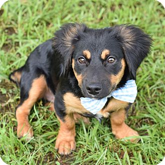 Dachshund/Corgi Mix Puppy for adoption in Denver, Colorado - Diego