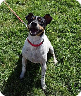 Rat Terrier/Jack Russell Terrier Mix Dog for adoption in Lisbon, Ohio - Jiminy