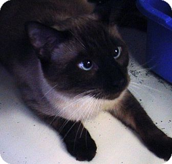 Siamese Cat for adoption in Kalamazoo, Michigan - Prince