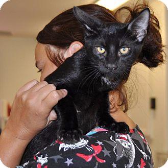 Domestic Shorthair Cat for adoption in Sunrise Beach, Missouri - Knight