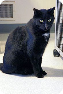 Domestic Shorthair Cat for adoption in Victor, New York - Don