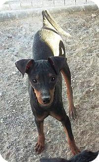 Miniature Pinscher Mix Dog for adoption in Las Vegas, Nevada - Kiara