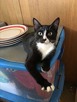 Domestic Shorthair Cat for adoption in Long Beach, California - Kaia