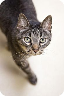 Domestic Shorthair Cat for adoption in St. Paul, Minnesota - Jeeves