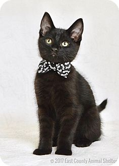 Domestic Shorthair Kitten for adoption in Dublin, California - Zin