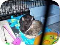 Domestic Shorthair Kitten for adoption in Grand Rapids, Michigan - To Amy, Love Sid