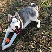Adopt A Pet :: Amarok - Horsham, PA