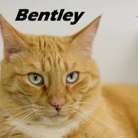 Adopt A Pet :: Bentley - Crossfield, AB