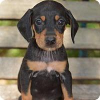 Adopt A Pet :: Henry - Vacaville, CA