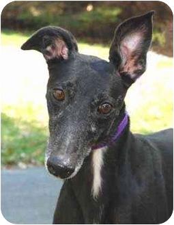 Greyhound Dog for adoption in Ware, Massachusetts - Billie