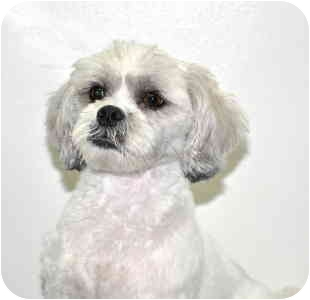 Lhasa Apso Dog for adoption in Port Washington, New York - Odie