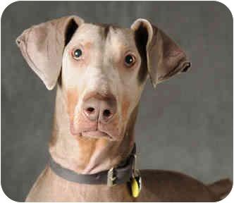 Doberman Pinscher Dog for adoption in Chicago, Illinois - Doug