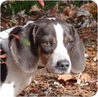 Beagle Dog for adoption in Indianapolis, Indiana - Gypsy