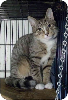 American Shorthair Cat for adoption in Brooklyn, New York - Swiss Cheese