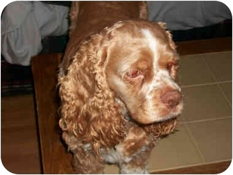 Cocker Spaniel Mix Dog for adoption in Mentor, Ohio - Dollie 3yr - Adopted
