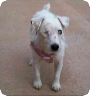 Jack Russell Terrier Mix Dog for adoption in Madison, Wisconsin - Bia