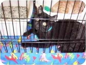 Domestic Shorthair Kitten for adoption in San Diego/North County, California - Otis