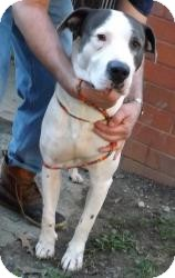American Bulldog Mix Dog for adoption in Youngstown, Ohio - Carson