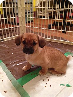 Pekingese/Dachshund Mix Puppy for adoption in waterbury, Connecticut - Lollipop & her siblings