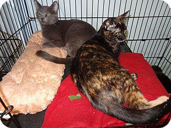 Domestic Shorthair Cat for adoption in Bentonville, Arkansas - Tortie Girl