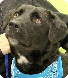 "German Shepherd Dog/Labrador Retriever Mix Dog for adoption in Smithfield, North Carolina - Augustus ""Gus"""