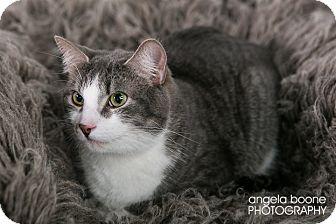 Domestic Shorthair Cat for adoption in Eagan, Minnesota - Duke