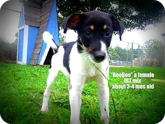 Jack Russell Terrier Mix Puppy for adoption in Gadsden, Alabama - Booboo