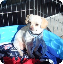 Beagle/Pug Mix Puppy for adoption in Las Vegas, Nevada - Kelo
