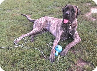 English Mastiff Mix Dog for adoption in North Kansas City, Missouri - Remington