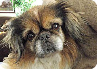 Pekingese Dog for adoption in Suffolk, Virginia - Prissie-VA