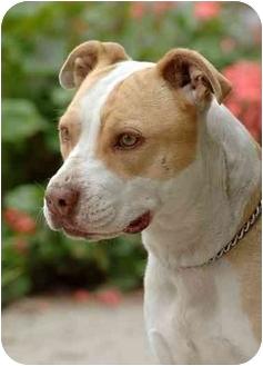 American Pit Bull Terrier Mix Dog for adoption in El Segundo, California - Sadie