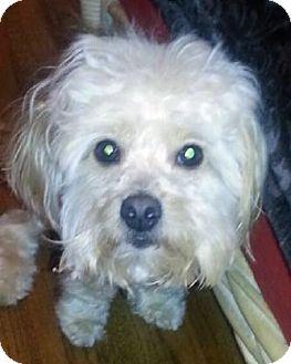 Maltese Mix Dog for adoption in Atlanta, Georgia - Bentley
