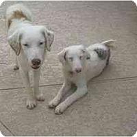 Adopt A Pet :: Scotty - Mesa, AZ