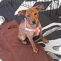Adopt A Pet :: Gigi - Phoenix, AZ