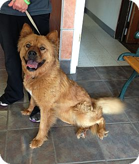 Chow Chow/Golden Retriever Mix Dog for adoption in Tillsonburg, Ontario - Pippi