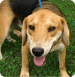 German Shepherd Dog/Beagle Mix Dog for adoption in Great Falls, Virginia - Aiden